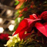 A Flor do Natal é de origem mexicana